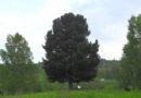 Берёзовский кедр претендует на звание дерева года в России