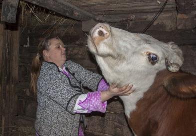 Секреты ухода за самой крупной коровой