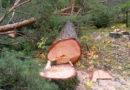 В Кузбассе судебные приставы взыскали с гражданина ущерб за незаконную рубку лесных насаждений